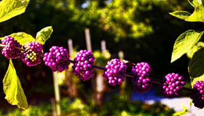 Photograph - Purple Clusters by Ellen Heaverlo