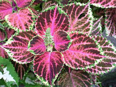 Purple Coleus With Seeds Art Print by Dusty Reed
