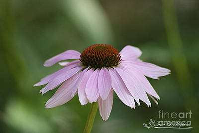 Photograph - Purple Cone Flower 20120703_122a by Tina Hopkins