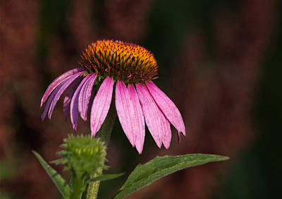 Photograph - Purple Cone Flower by Dale Kincaid
