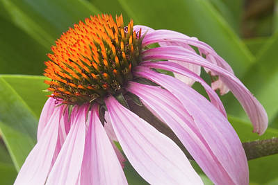 Target Threshold Photography - Purple Cone Flower Echinacea by Keith Webber Jr