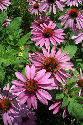 Photograph - Purple Cone Flowers by Georgia Hamlin