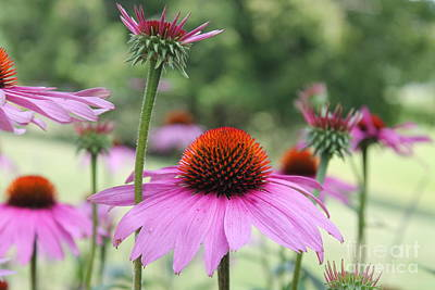 Nikki Vig Royalty-Free and Rights-Managed Images - Purple Cone Flowers by Nikki Vig