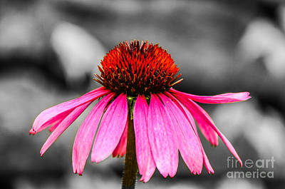 Photograph - Purple Coneflower - Sc by Mary Carol Story