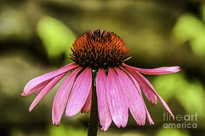 Photograph - Purple Coneflower - Single by Mary Carol Story