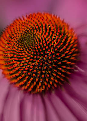 Photograph - Purple Coneflower by David Smith