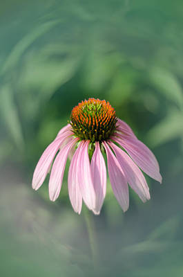Photograph - Purple Coneflower by Diana Boyd