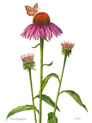 Painting - Purple Coneflower - Echinacea Purpurea  by Janet Zeh