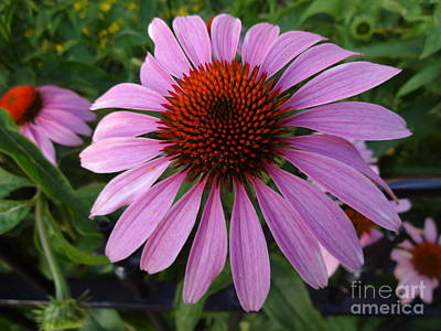 Photograph - Purple Coneflower - Echinacea by Rod Ismay