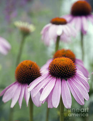 Photograph - Purple Coneflower by Juli Scalzi