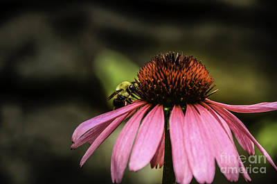 Photograph - Purple Coneflower by Mary Carol Story