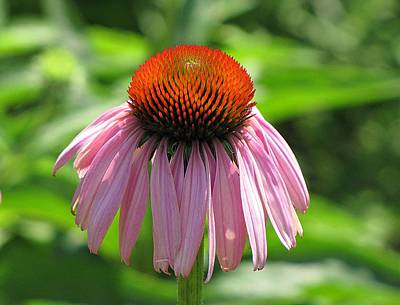 Photograph - Purple Coneflower by MTBobbins Photography