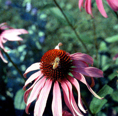 Purple Echinacea Art Print