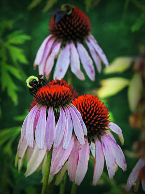 Photograph - Purple Coneflowers 001 by Lance Vaughn