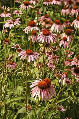 Photograph - Purple Coneflowers by Kristia Adams
