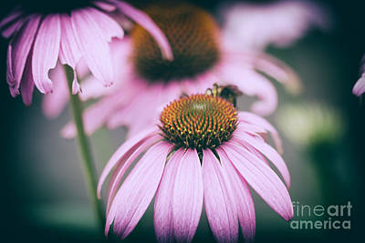 Floral Photograph - Purple Coneflowers by Lisa McStamp