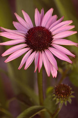Coneflowers Photograph - Purple Conflower And Bud by Lesa Fine