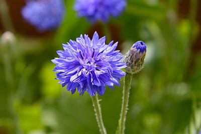 Photograph - Purple Cornflower by Denise Mazzocco