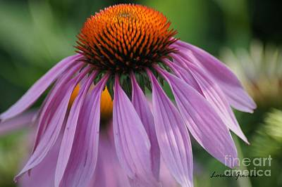 Photograph - Purple Cornflower by Lorelle Gromus