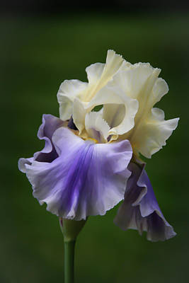Photograph - Purple Cream Bearded Iris by Patti Deters