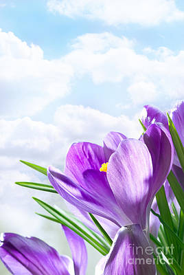 Purple Crocus Art Print by Boon Mee