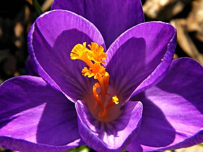 Photograph - Purple Crocus Detail by Chris Berry