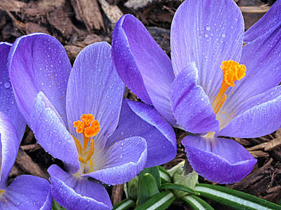 Photograph - Purple Crocus In The Rain by Gill Billington