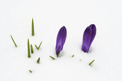 Purple Crocus In The White Snow - Spring Meets Winter Art Print by Matthias Hauser