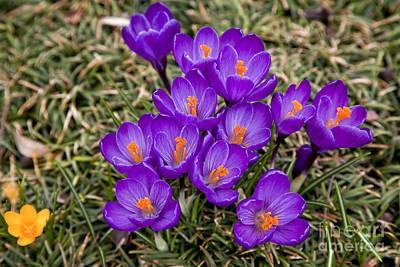 Photograph - Purple Crocus by Jill Lang