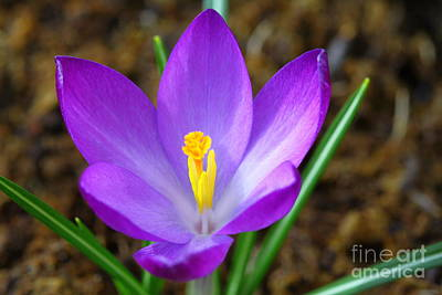 Photograph - Purple Crocus by Kristy Jeppson
