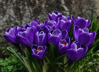 Photograph - Purple Crocus by Ron Roberts