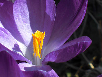 Photograph - Purple Crocus With Yellow by Heidi Manly