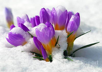 Purple Crocuses In The Snow Art Print by Sharon Talson