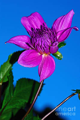 Photograph - Purple Dahlia Afternoon Sky By Kaye Menner by Kaye Menner