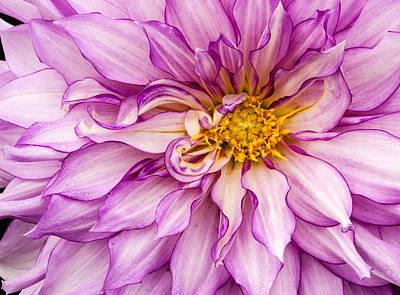 Photograph - Purple Dahlia by Jean Noren