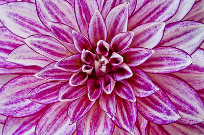 Photograph - Purple Dahlia by Windy Osborn