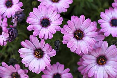 Photograph - Purple Daisies by Pamela Walrath
