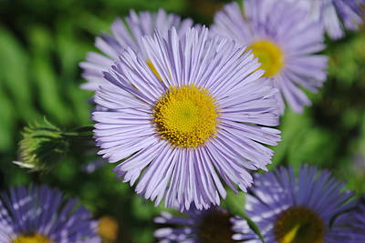 Photograph - Purple Daisies by Robert  Moss