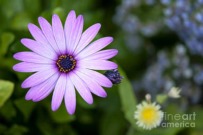 Purple Daisy Art Print by Design Windmill