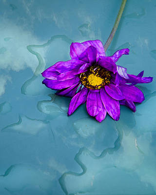 Photograph - Purple Daisy On Pool Of Water by Kasandra Sproson
