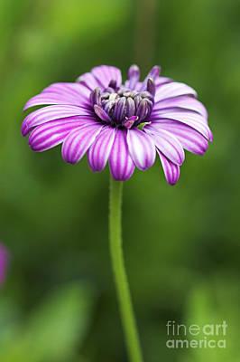 Photograph - Purple Daisy by Pamela Gail Torres