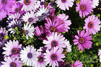 Photograph - Purple Daisy by Rachel Munoz Striggow