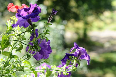 Kitchen Mark Rogan - Purple Delight. Petunia Bloom by Jenny Rainbow
