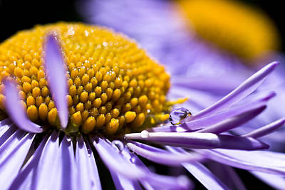 Photograph - Purple Drop by Priya Ghose