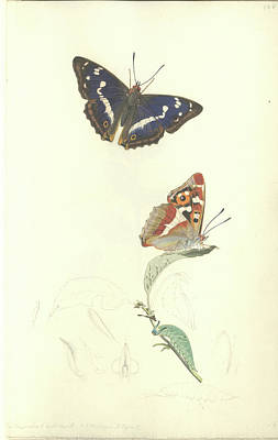Purple Emperor Butterfly Art Print by Natural History Museum, London/science Photo Library
