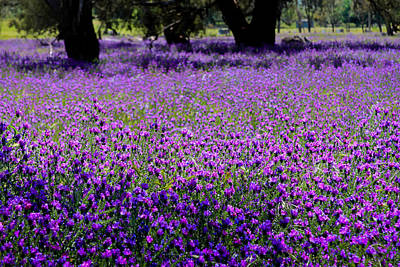 Photograph - Purple Fields by Jenny Setchell
