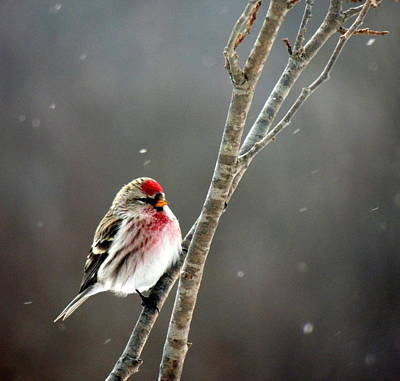 Photograph - Purple Finch by Amalia Jonas