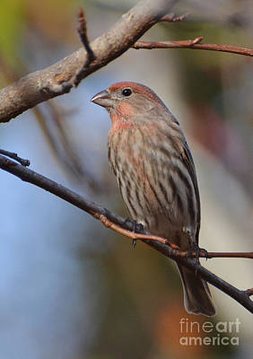 Photograph - Purple Finch by Kathy Baccari