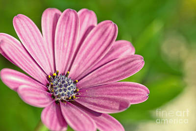 Photograph - Purple African Daisy by Martin Capek