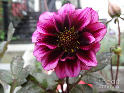 Photograph - Purple Dahlia by Rod Ismay